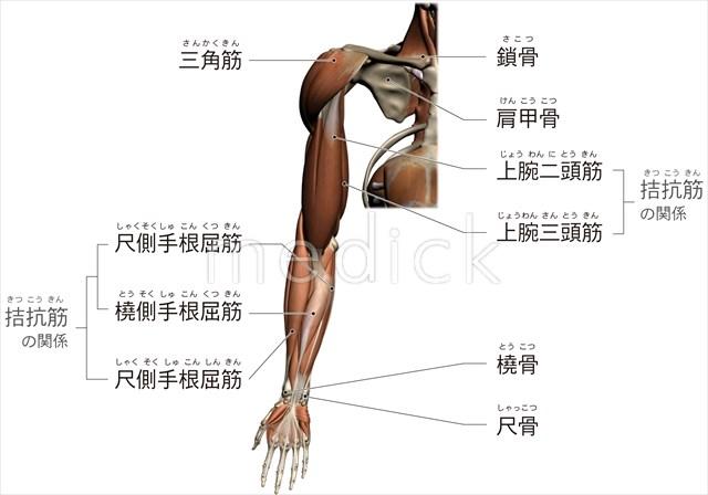 上肢のおもな骨と筋肉のイラスト 医療のイラスト写真動画素材