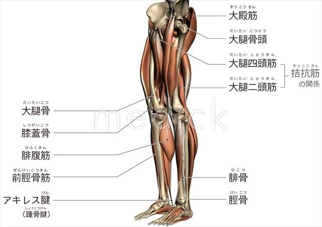 下肢のおもな骨と筋肉のイラスト 医療のイラスト写真動画素材