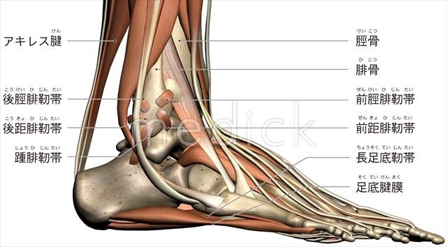 足関節のおもな靭帯小指側からみるのイラスト 医療のイラスト