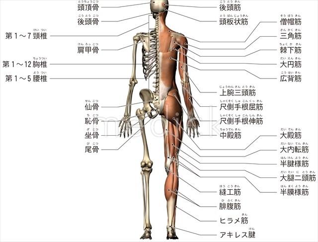 全身の筋肉と骨格後方からみるのイラスト 医療のイラスト写真